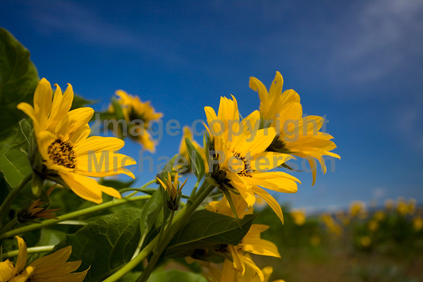 Balsamroot and sunshine, profile.
