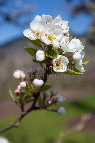 A pear blossom in the Hood River Valley.