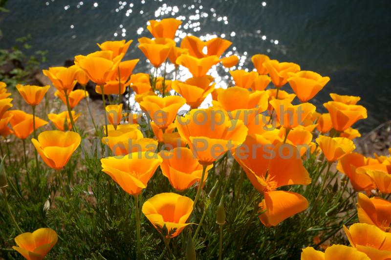 Poppies13-1001