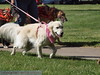 2013 Elk Grove K9 Cancer Walk 110