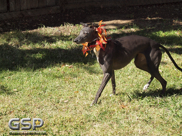 Greyhound Play Day 432a