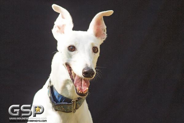 Greyhound Play Day 330a