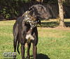 Greyhound Play Day 261a