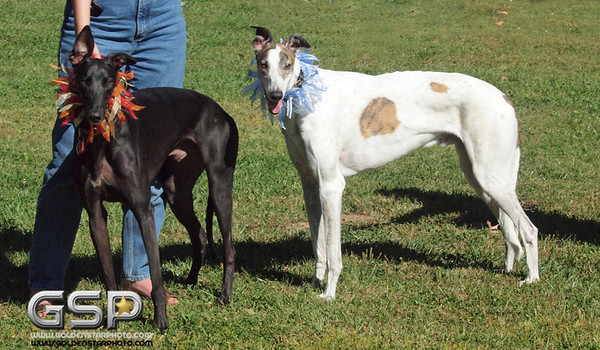 Greyhound Play Day 444a