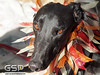 Greyhound Play Day 391a