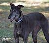 Greyhound Play Day 104a