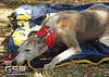 Greyhound Play Day 593a