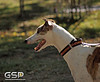 Greyhound Play Day 059a