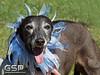 Greyhound Play Day 424a