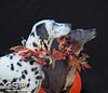 Greyhound Play Day 451a