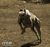 Greyhound Play Day 075a