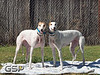 Greyhound Play Day 168a