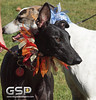 Greyhound Play Day 435a