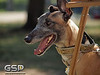 Greyhound Play Day 200
