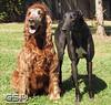 Greyhound Play Day 256a