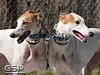 Greyhound Play Day 158a