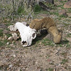 On the way we discovered the skull of a big horn sheep.