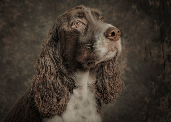 portrait of a springer spaniel