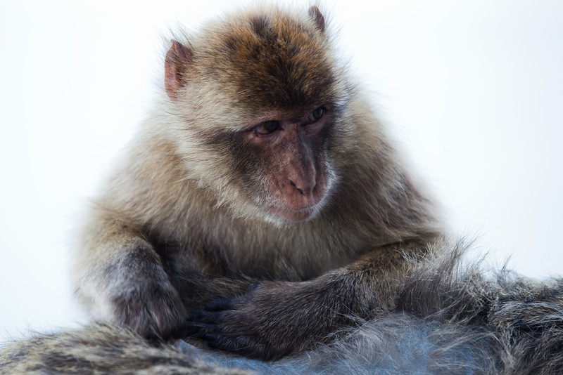 Young Gibraltar Macaque