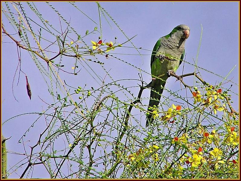 Parrot in Parkinsonia