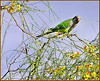 Parrot in our Tree