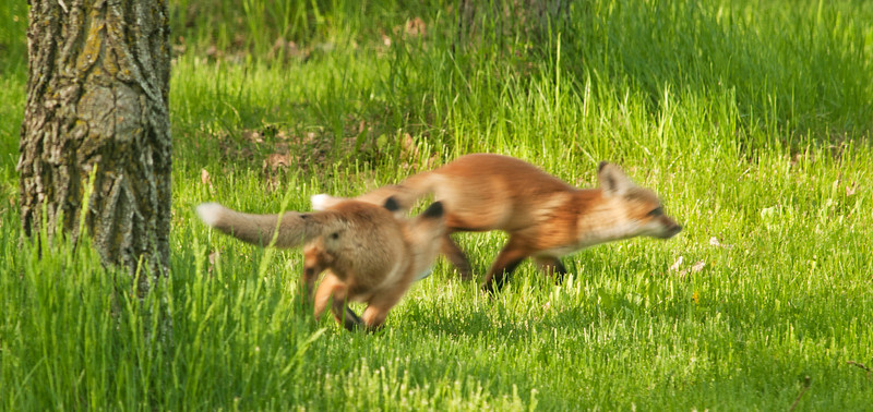 So fast... they were simply a blur in the late evening light....