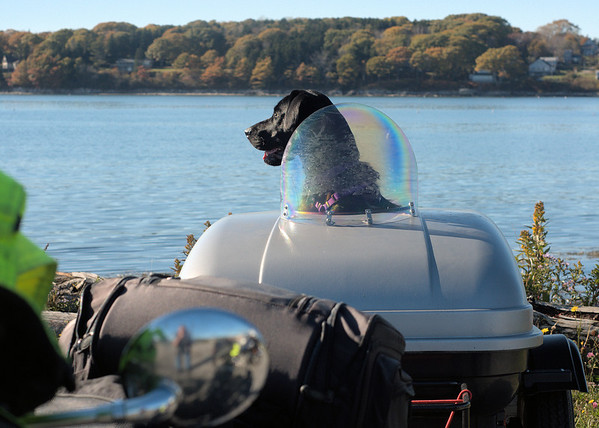 Biker dog.  This one, in Maine, had a special trailer to ride in behind the owner.