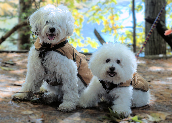 Tibetan Terrier Roxy and Bichon pal Oscar hike at Wolfe's Neck Woods State Park in Freeport, Maine.  Both are appropriately attired in doggie versions of  the classic L.L. Bean field coat.