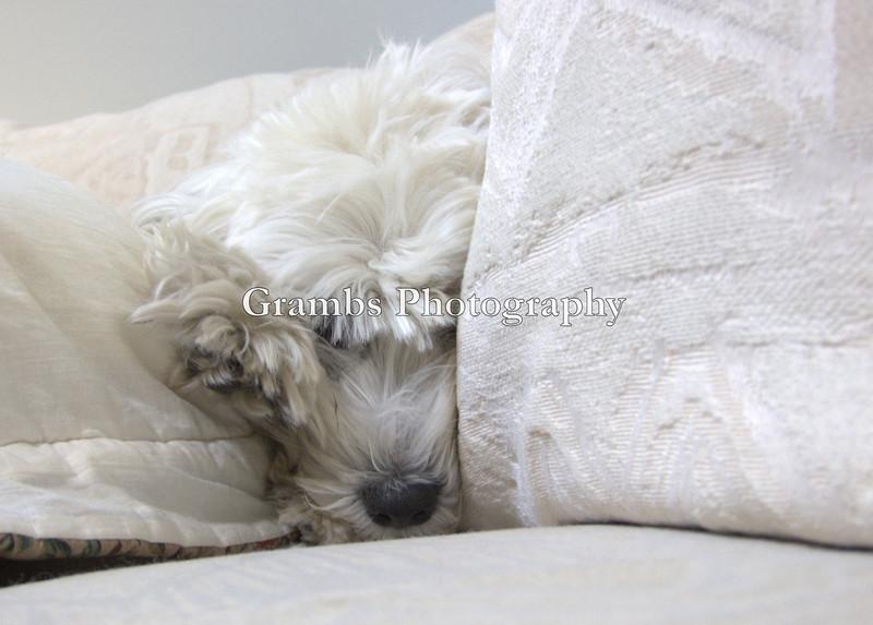 Himalayan Dream.  Tibetan Terrier Roxy Hart uses sofa cushions for snow cover.