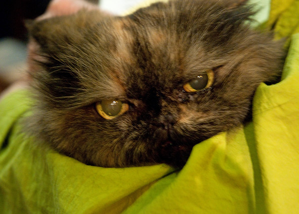 Fashion to match a cat's eyes.  And this cat was in a New York City church to be blessed on St. Francis Day of 2010.
