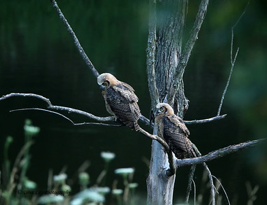 Great Horned Owls (Two Juveniles)