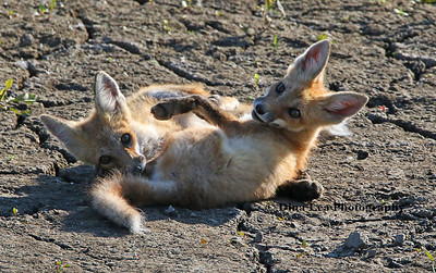Red Fox - Kits