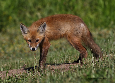 Red Fox Stance