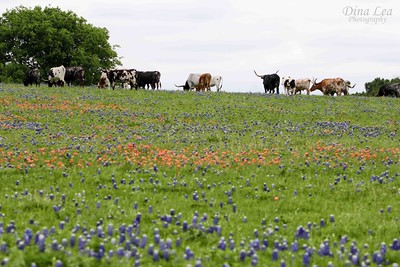 Longhorns in Bluebonnets