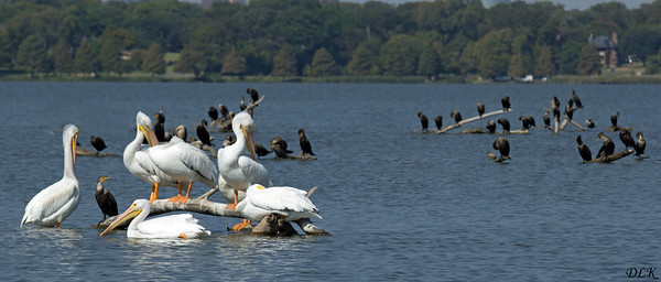 White Pelicans & Cormorants
