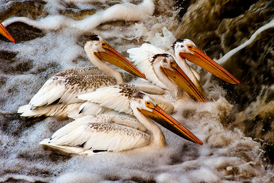 Pelicans at Lockport, Manitoba