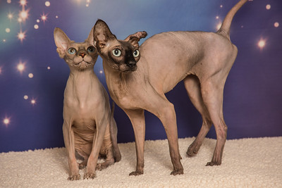 Sphinx kitties