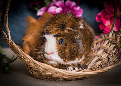 Snorkle the Guinea Pig