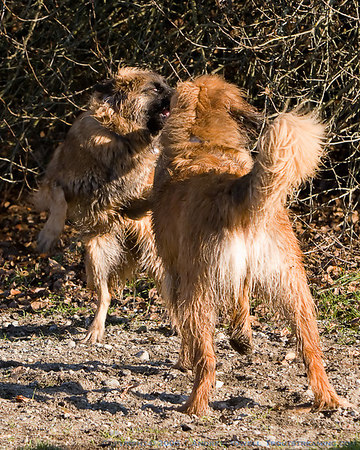 """Snapshot gallery of images from the December 2nd Leo walk at Marymoor Park in Redmond Washington - a Leonberger Club of the Northwest Event <a href=""""http://nwleos.com"""">http://nwleos.com</a>. Images were acquired with a canon 20D and a 70-200 2.8 IS lens and were batched processed and downsized for display on the web. All files are Copyright © 2006 J. Andrew Towell All uses are prohibited without the express prior written permission of the copyright holder - who can be reached at troutstreaming@gmail.com."""