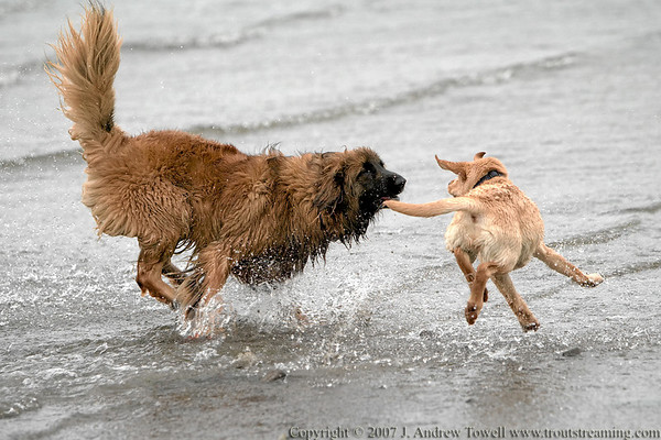 "Snapshot gallery of images from a Monday morning OLAE (Off-Leash Area Edmonds) visit <a href=""http://www.olae.org/"">http://www.olae.org/</a> . Images were acquired as  RAW files and have been batch processed for display on the web. Image Copyright © 2007 J. Andrew Towell All Rights Reserved. Please contact the copyright holder at troutstreaming@gmail.com to discuss any and all usage rights."