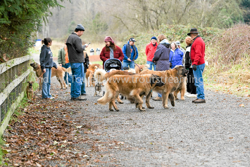 "Snapshot gallery of images from the Leonberger Club of the Northwest December Walk at Marymoor off leash area <a href=""http://www.nwleos.com"">http://www.nwleos.com</a>  . Images Copyright © 2007 J. Andrew Towell All Rights Reserved. Please contact the copyright holder at troutstreaming@gmail.com to discuss any and all usage rights."