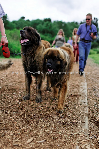 """Snapshot gallery of images from the Northwest Leonberger Club monthly walk at Marymoor Off Leash Area in Redmond Washington.  <a href=""""http://www.nwleos.com"""">http://www.nwleos.com</a>  . Images have been batch processed for display on the web. Images Copyright © 2008 J. Andrew Towell All Rights Reserved. Please contact the copyright holder at troutstreaming@gmail.com to discuss any and all usage rights."""