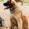 "Snapshot gallery of images from the Northwest Leonberger Club monthly walk at Marymoor Off Leash Area in Redmond Washington.  <a href=""http://www.nwleos.com"">http://www.nwleos.com</a>  . Images have been batch processed for display on the web. Images Copyright © 2008 J. Andrew Towell All Rights Reserved. Please contact the copyright holder at troutstreaming@gmail.com to discuss any and all usage rights."