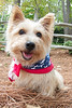10-9-11 'Bear' in the Woods : Norwich Terrier
