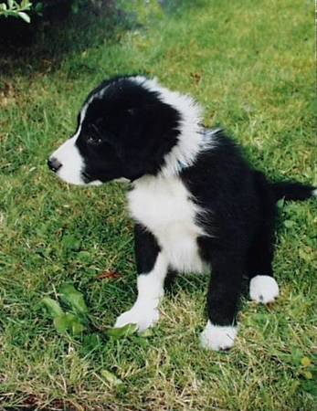 My mom & dads Border Collie pup, Bob.