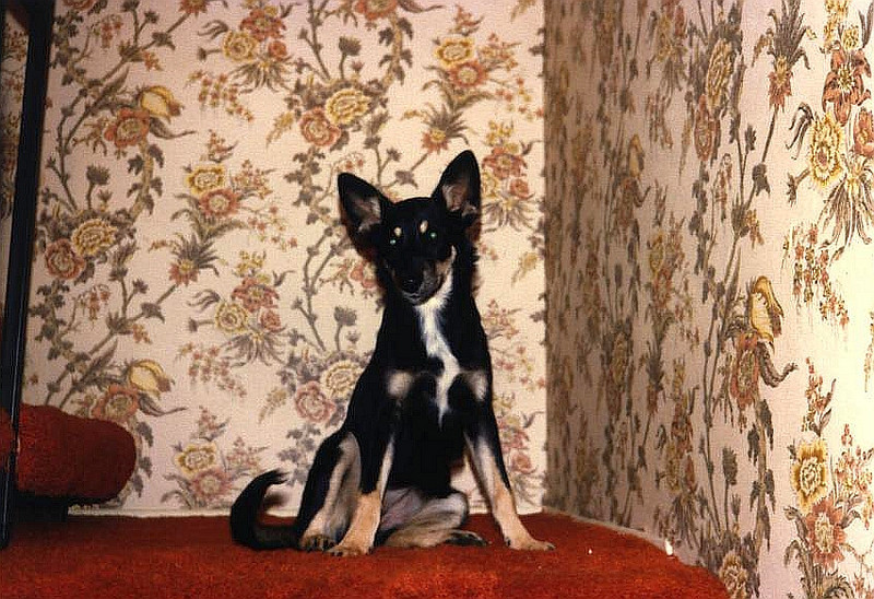 Without a doubt, the dumbest dog I ever had the misfortune to meet ... he actually left home at about 6 months to move in with a neighbor who had about a half dozen cats ... meet Bandit.