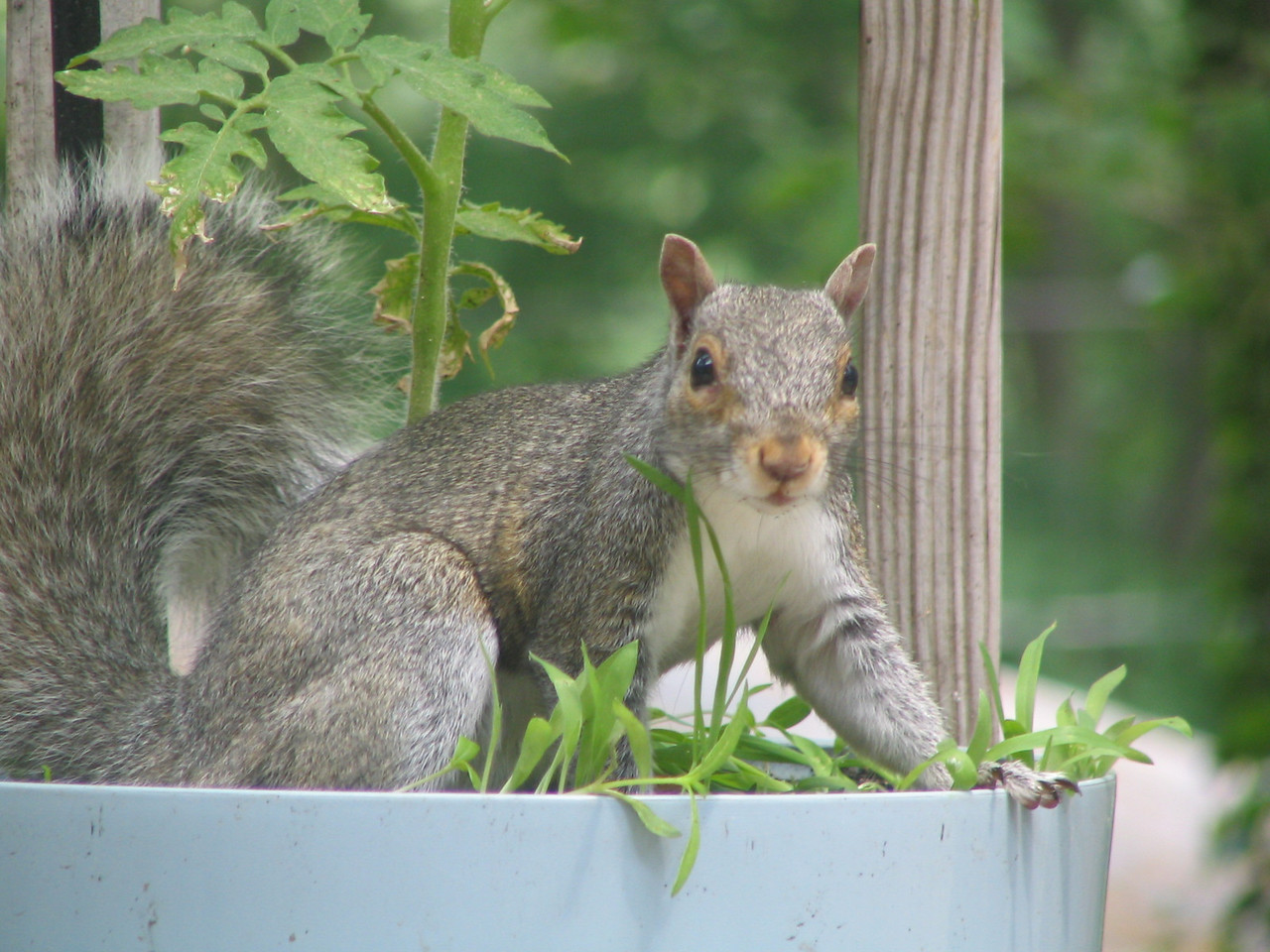 Again, not a pet but a regular on our deck.