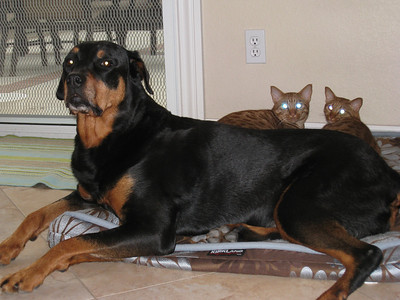 20090630-IMG_0232 Kitties having taken over her bed, our poor Rottie must lay on the edge of the bed.  Rather than chasing them off the bed, she looks to us with a sorrowful pout which seems to say:  Help me get my bed back.