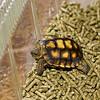 Baby Desert Tortoises Tucson, AZ