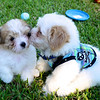 """That's """"Cowboy"""" on the right.  One of Jersey's brothers and Alyson's new puppy!!"""